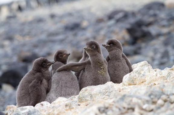 Love this photo of a gang of Adelie #penguin chicks! by @ae_schmidty #CuteOff #TeamBird #TeamFluffyBum http://t.co/w1Q9CoCVtQ