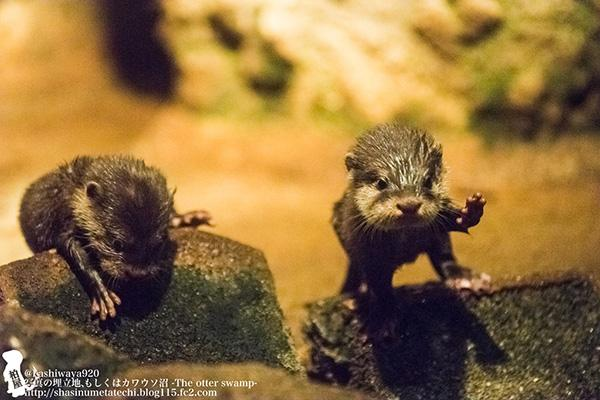 Little otter pups get their footing on the rocks #cuteoff http://t.co/NCDbDSuCXr