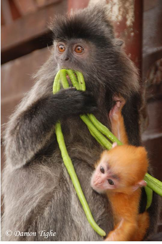 Who has the beans? #CuteOff #Silvery #Lutung (Trachypithecus cristatus). #monkey http://t.co/U8Y95hRAwN