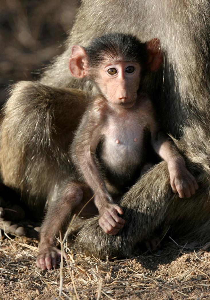And a baby baboon... awwwww! #CuteOff http://t.co/hGLxR5lExx