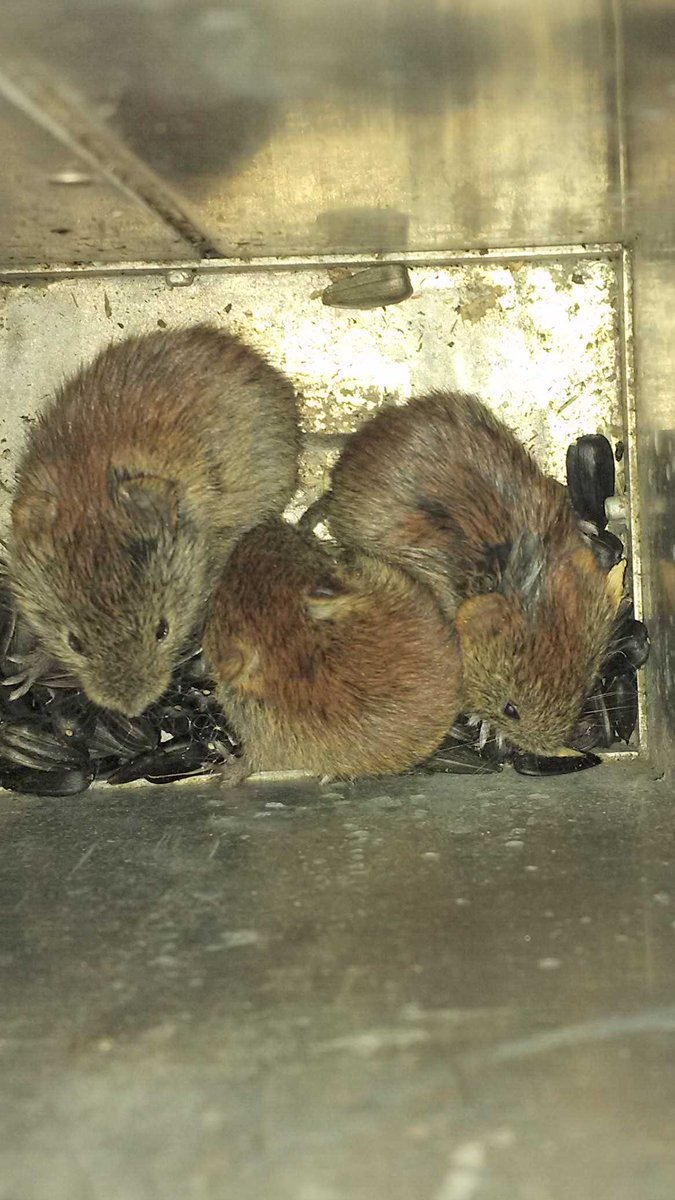 3 juvenile red-backed voles cuddling in same trap #CuteOff #smallmammaltrapping2015 @Wild49Eco http://t.co/HUSd7wzXX4