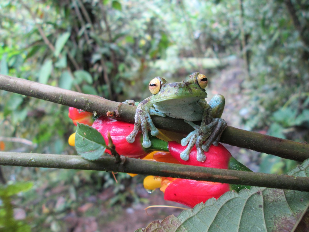 There is no competition with the Palm treefrog! #TeamHerpetology #CuteOff http://t.co/ScAWWXSUEc