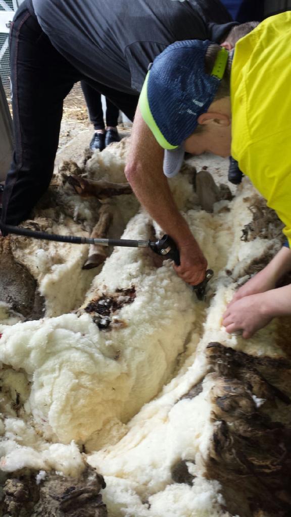 Isso é o que acontece quando uma ovelha fica cinco anos sem ser tosada