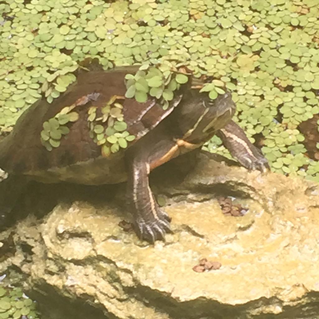 An angry but well accessorized turtle in Jamaica... http://t.co/qUqXGqsNir