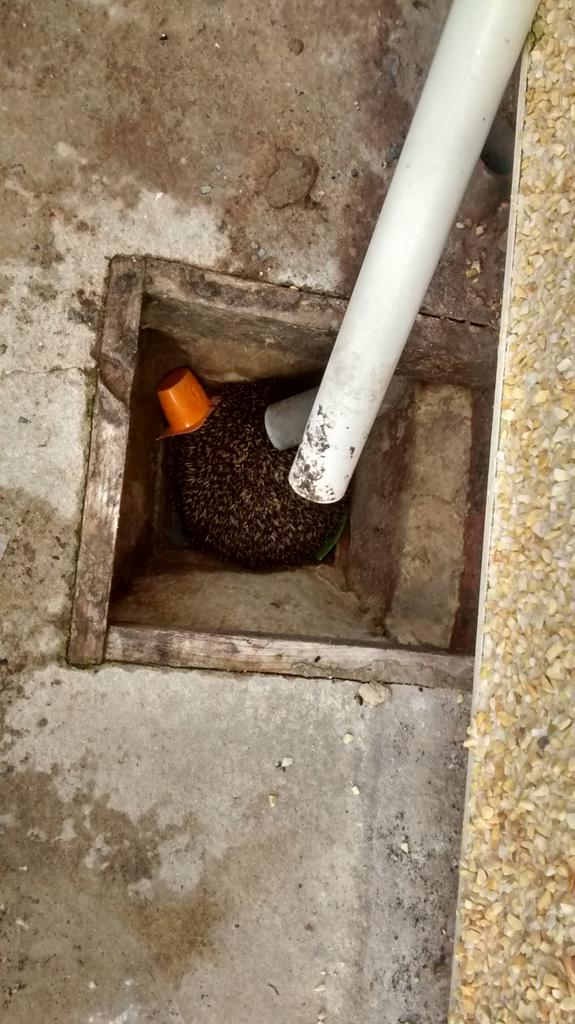Just rescued this chap from uncovered drain. Please cover drains and protect wildlife from our waste. NM http://t.co/LqLTnaxBaV