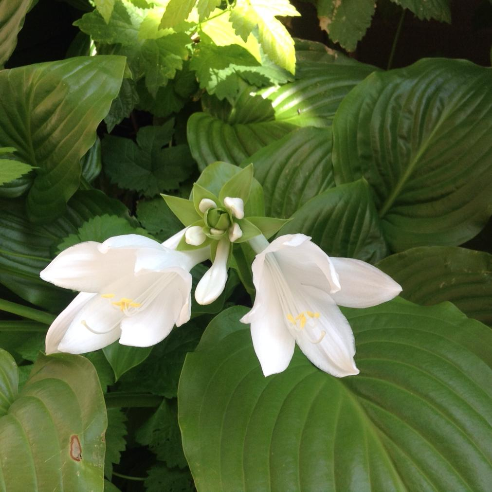 two white hosta blooms and six buds in a spiral on their stalk