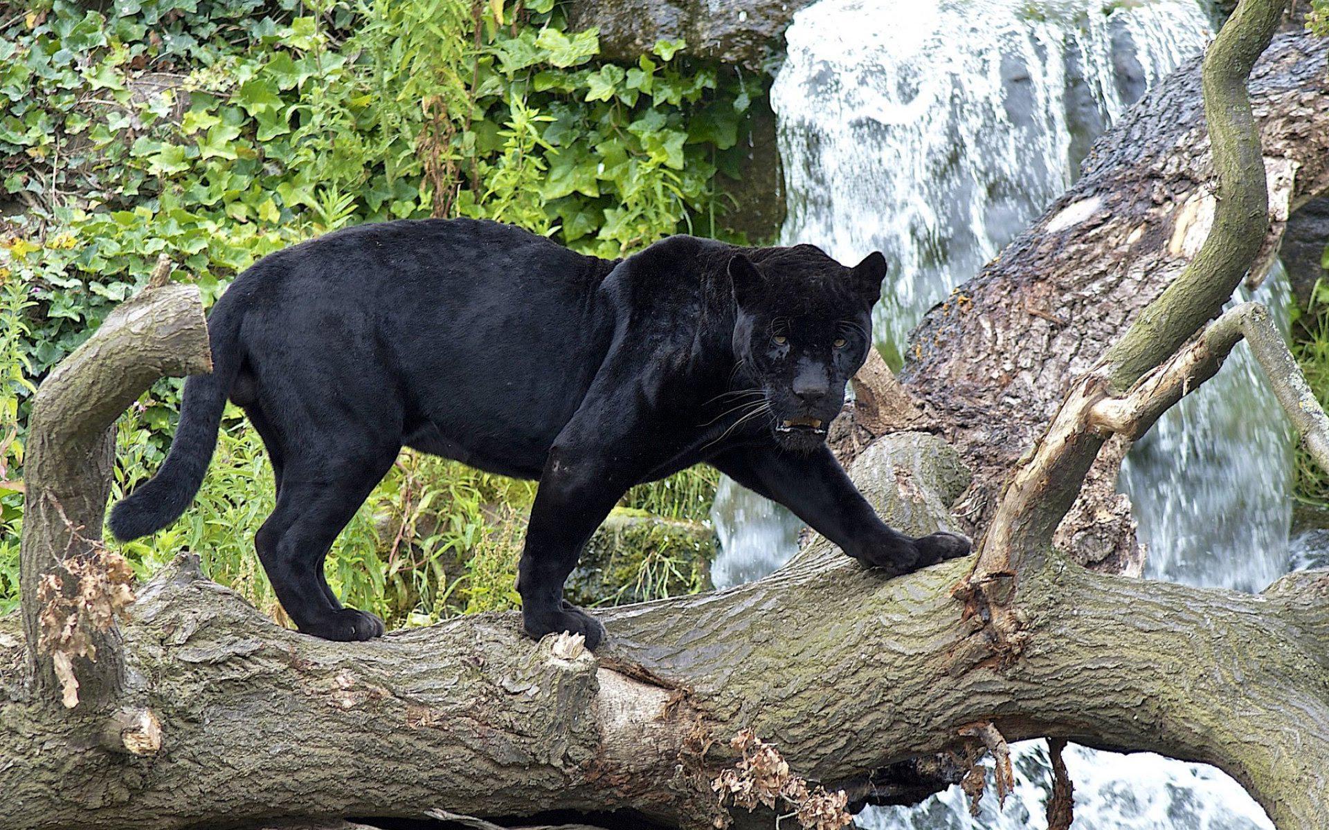 Для, картинки с черной пантерой в джунглях
