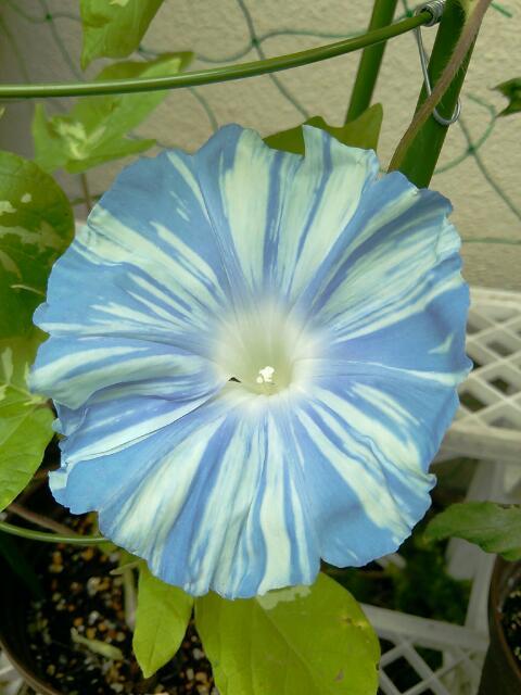 今朝も歴博の苗「歴黄10」が咲きましたよ。大きさ、色、柄ともに存在感あります…(*´▽`*)  #変化朝顔 http://t.co/It5KCG5d9R