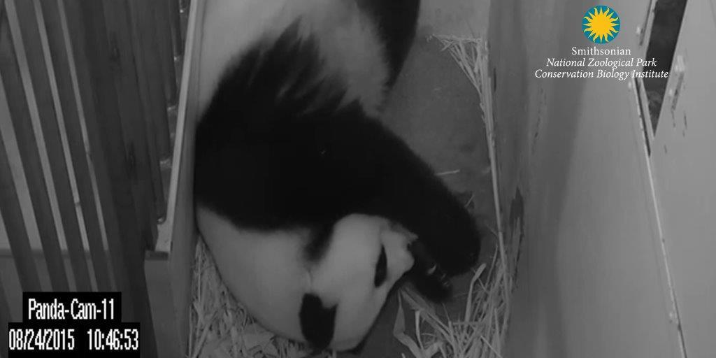 Can't wait to see D.C.'s panda baby? Four places to behold that cuteness right now