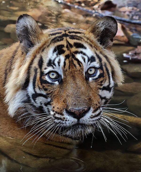 Tiger Ustad is innocent. Pls release him from Rajasthan zoo and send him  back to the forest - his cubs need him. http://t.co/9PEwggg4hu