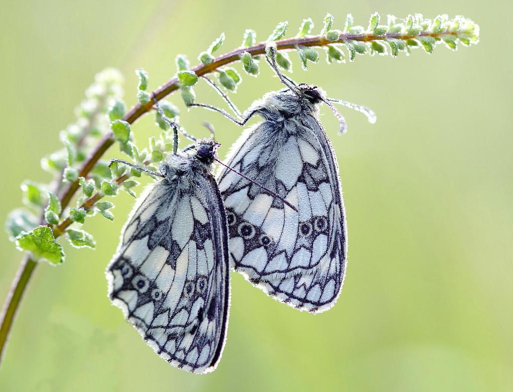 Beautifully captured marbled whites sent in by Allen Holmes #photooftheday https://t.co/WCAd57UKmI http://t.co/nXNiXS6PPn