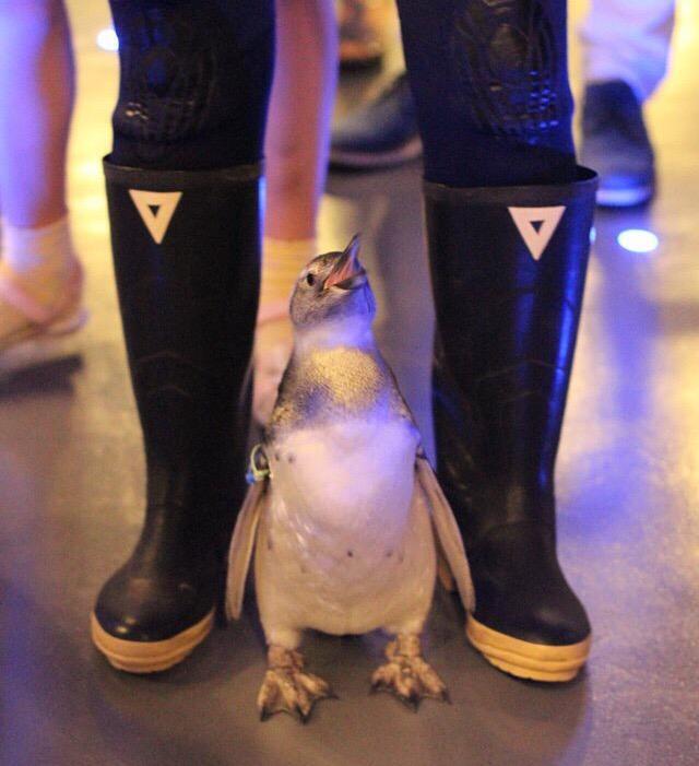 本日、ついにペンギンの赤ちゃん「たいこ」が大人たちが暮らすペンギンプールにデビューします!11時よりバックヤードから歩いてプールまで移動し、11時半からプールで泳ぎ始めます!ぜひ、応援してあげてください!#すみだペンギン赤ちゃん pic.twitter.com/wfQuYQ7t6S