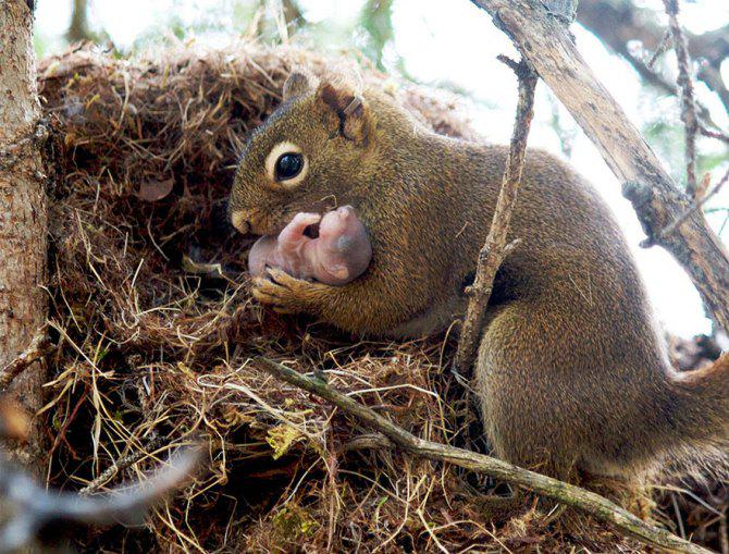 mother squirrel with new baby