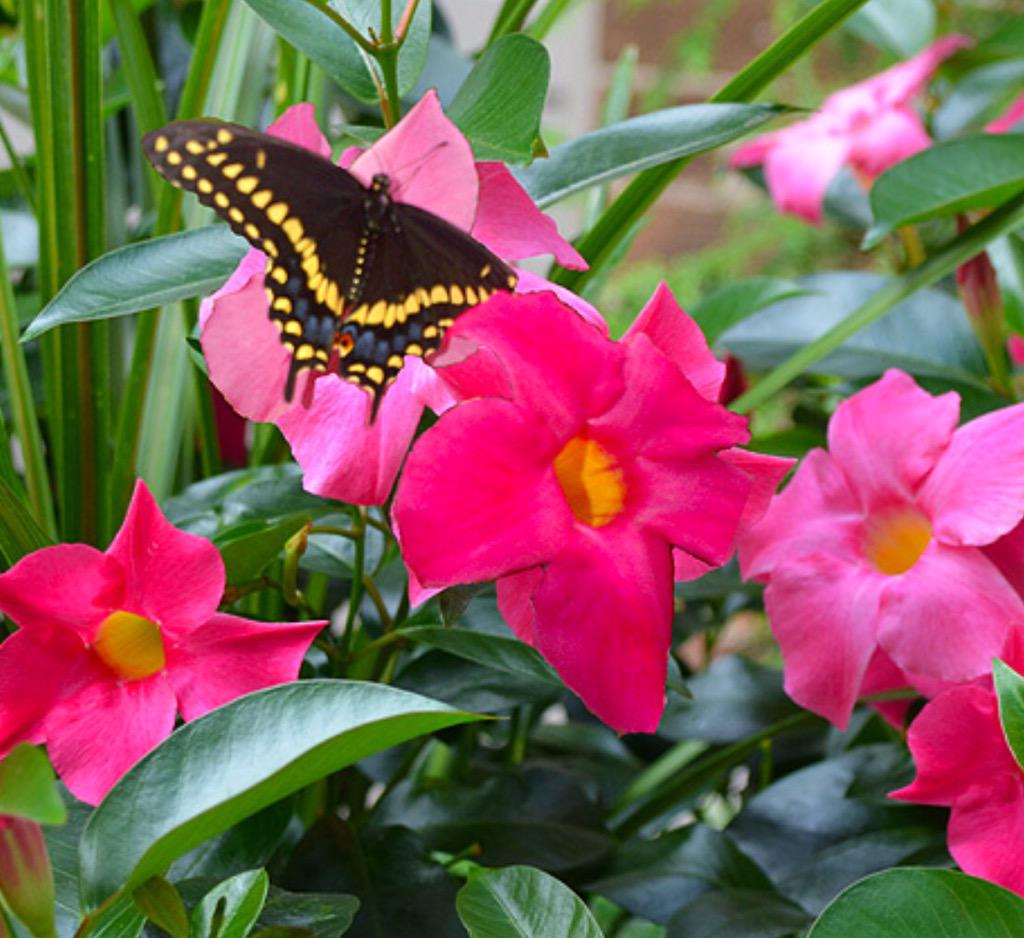 Image result for images of dipladenia with hummingbirds and butterflies