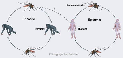#Chikungunya NO se transmite d persona a persona, solo x el mosquito, aunque puede pasar d madre a hijo #microMOOC http://t.co/E9MSh9eH9Y