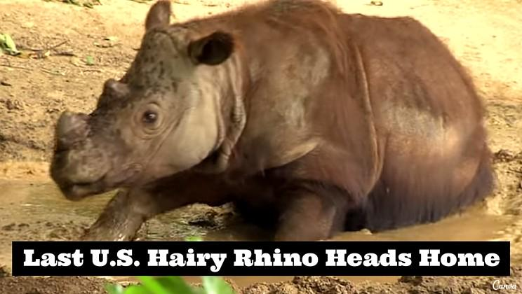 Hairy rhino heads home to save his species [video] http://t.co/9KpFn80O7I http://t.co/FyGzaOcnki