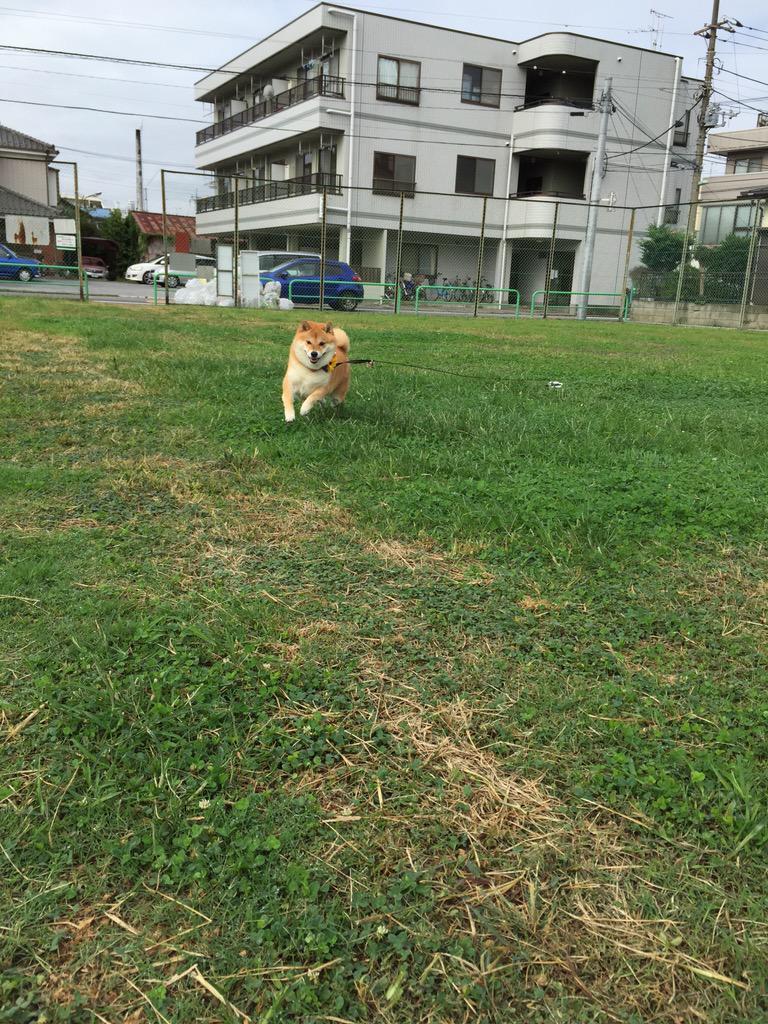 お散歩行くのイヤがったくせに、喜んで走り回ったあげくに、帰りたくなくて(ノ)•ω•(ヾ)イヤイヤしてさッ。 やれやれ