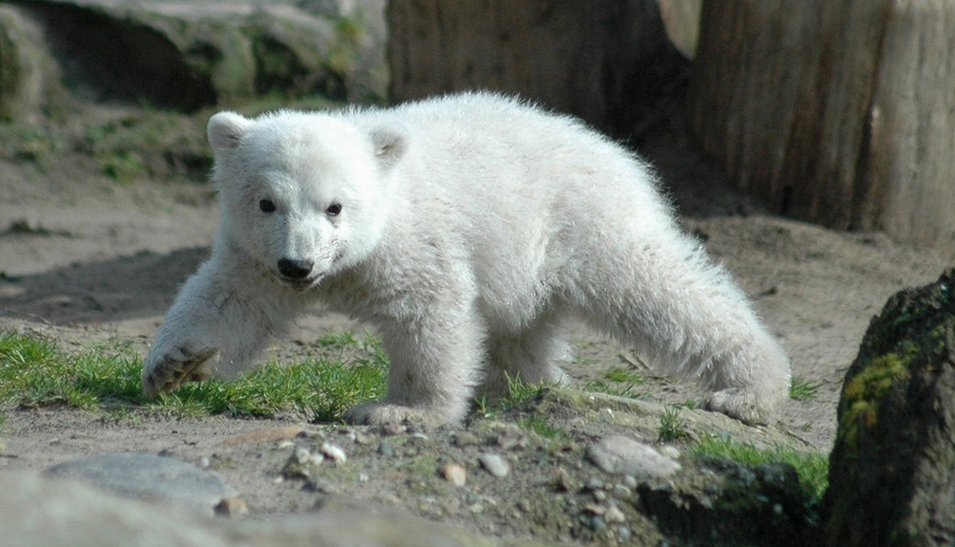 RT @WiredUK: We now know what killed Knut the Polar Bear http://t.co/qMLsvwr20A http://t.co/PsvfqTwQG6