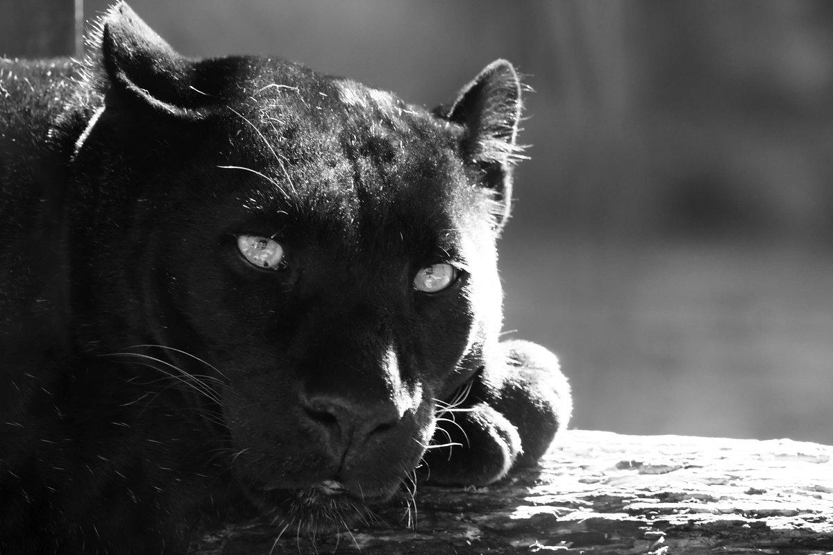 Пантера и вода картинки