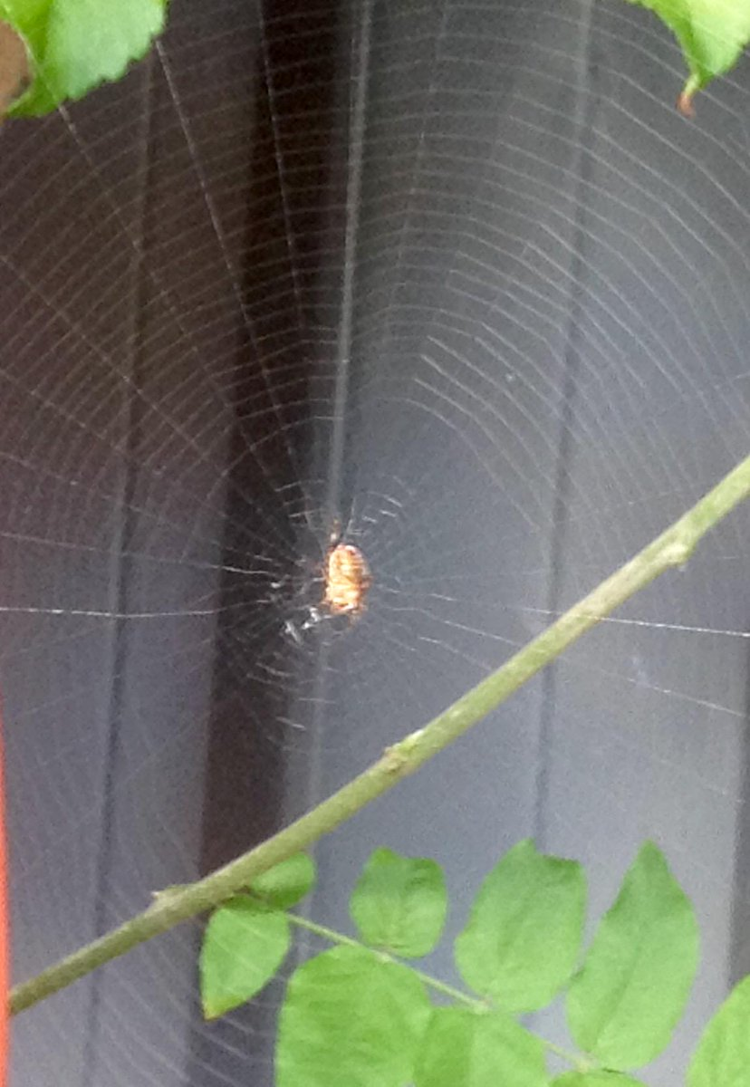 light brown spider in the center of a web