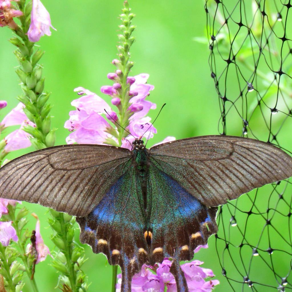 夏の終わりのクロアゲハ。色は褪せてるけどキレイ。 http://t.co/GfLXzXZ91s