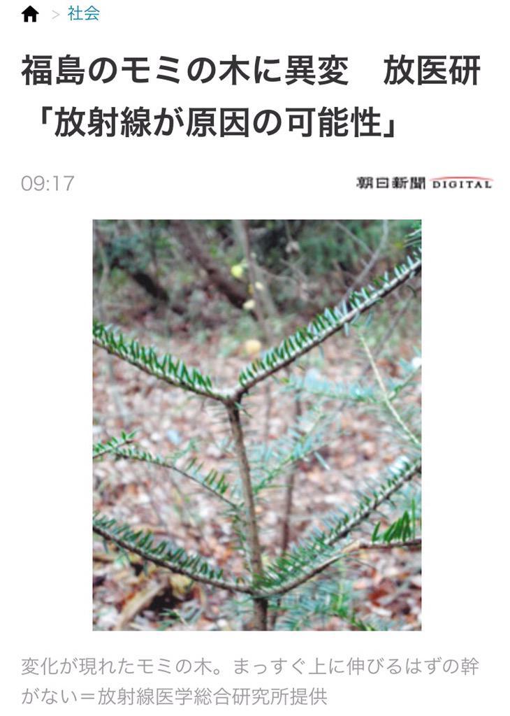 ほう、これが放射線の影響で異変を起こしたモミですか。 確かにカモシカの食害痕にそっくりですねえ。 放射線怖いですねえ。 http://t.co/BNpO87SksA