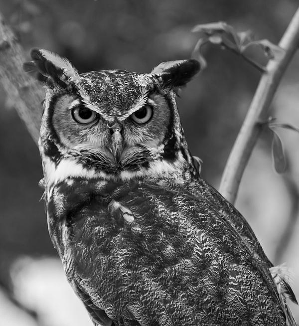 Urasian eagle owl black and White