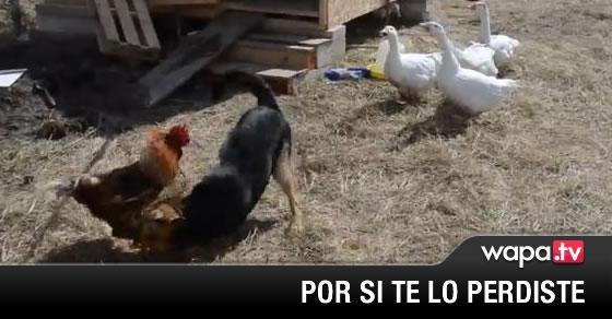 El Perro Jugando El Gallo Lo Coge A Pecho Y Los Gansos Metiendo