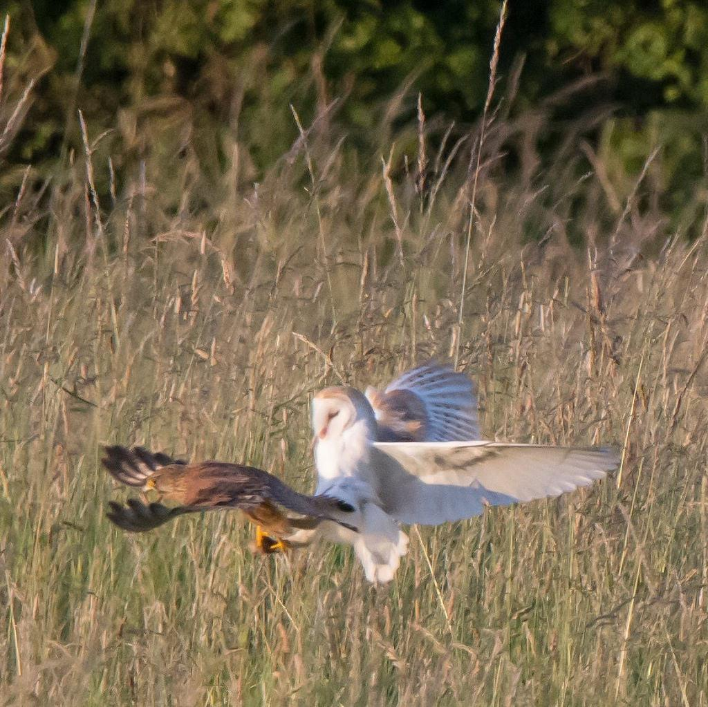 Barn owl stealing supper from a kestrel! - thanks to Andrew O'Brien for this   #photooftheday https://t.co/tFxmsQbSo6 http://t.co/HSomnD4KeG
