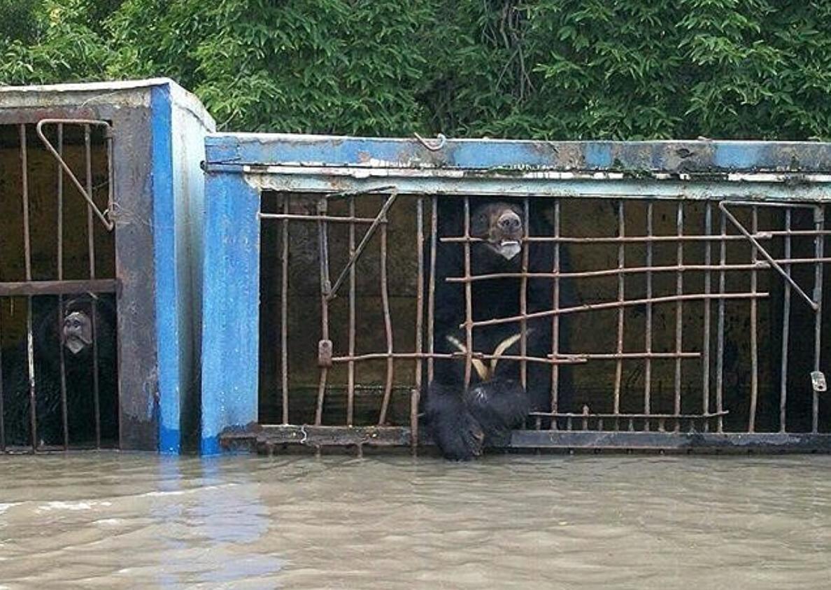 Orsi chiusi in gabbia trasformata in trappola mortale