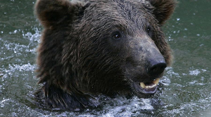 Orso cerca di nuotare nell'acqua dopo le forti piogge
