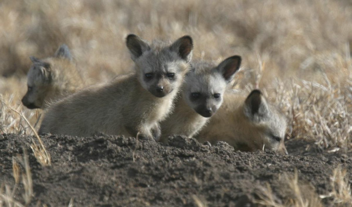 Ok guys, what #serengeti  species are these cuties? #mammalwatching http://t.co/ObBCwcbyUH
