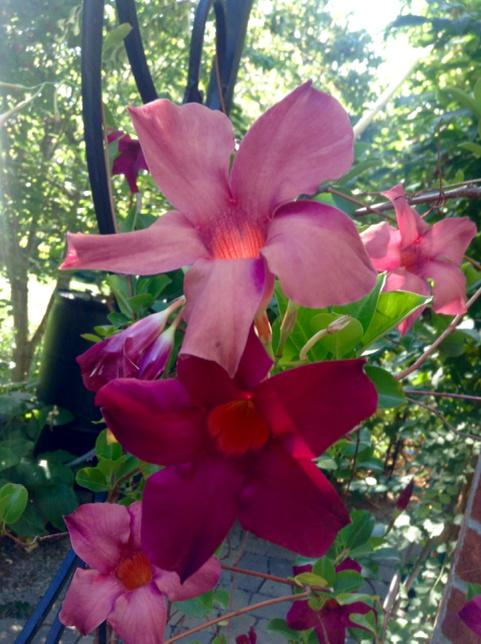 two mandevilla flowers on a single stem, one pink, one purple