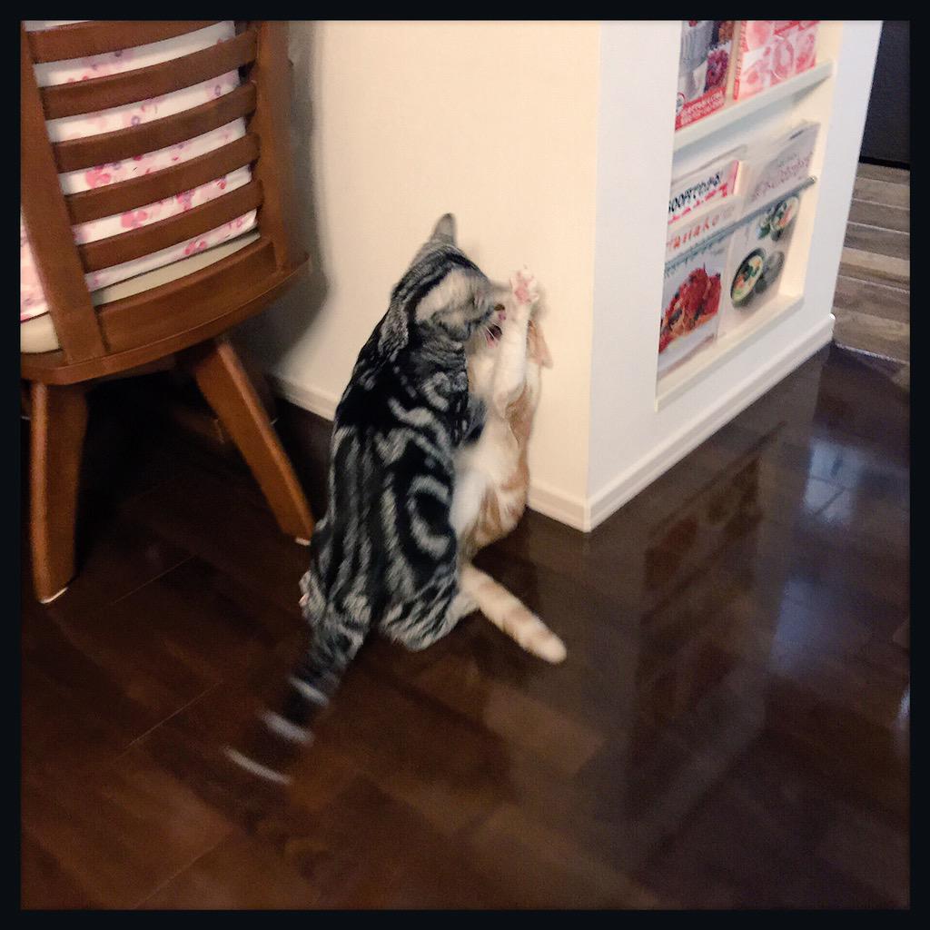 壁ドンされてる…|壁|ョ ωↀ=)✧  ただし…人間界とは様子が違うようでして……ジワる笑  #猫 #ねこ #アメショ #cat