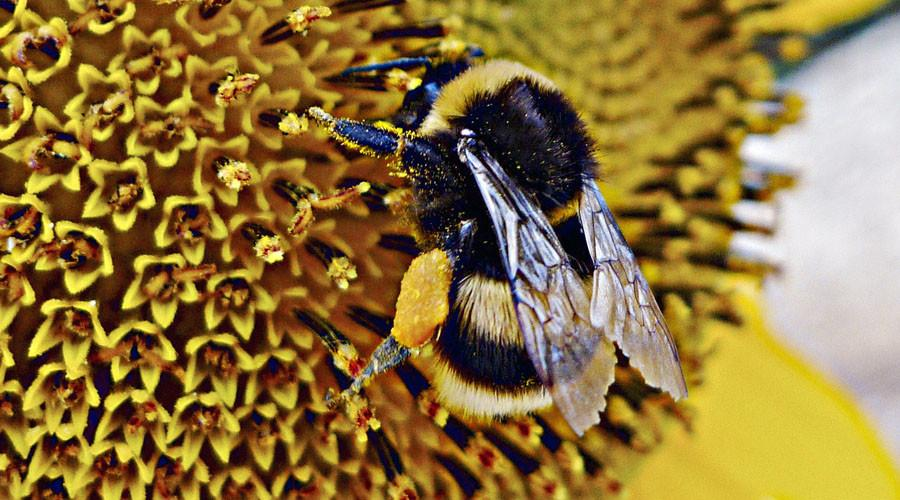 Coffee buzz: Honey bees are caffeine fiends