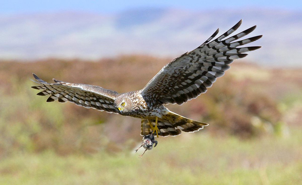 Hen Harriers are killed for eating Red Grouse (that people want to shoot for fun). Plz sign https://t.co/lMDFYhXMZc http://t.co/Dm0crURQLj
