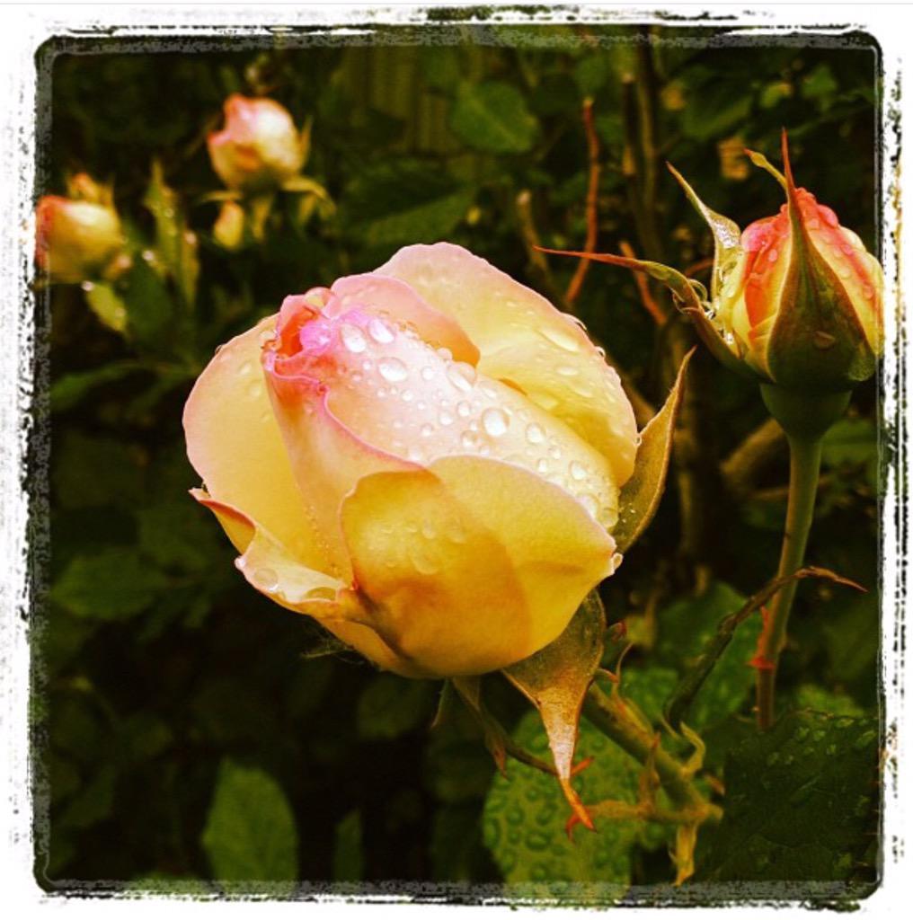 雨の日の薔薇を。  #ぼくらが会う日はいつも雨が降るね #mysky http://t.co/OZIzFDgxmu
