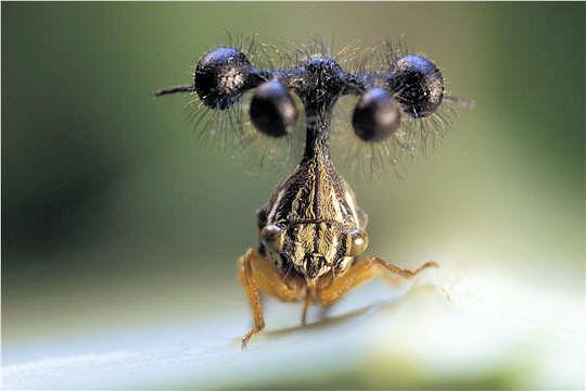 The ball-bearing treehopper, #Brazil ~ http://t.co/MQbNtkqGj7 ~ #environment #biodiversity #photography #nature #eco http://t.co/HcSC6DnJ15