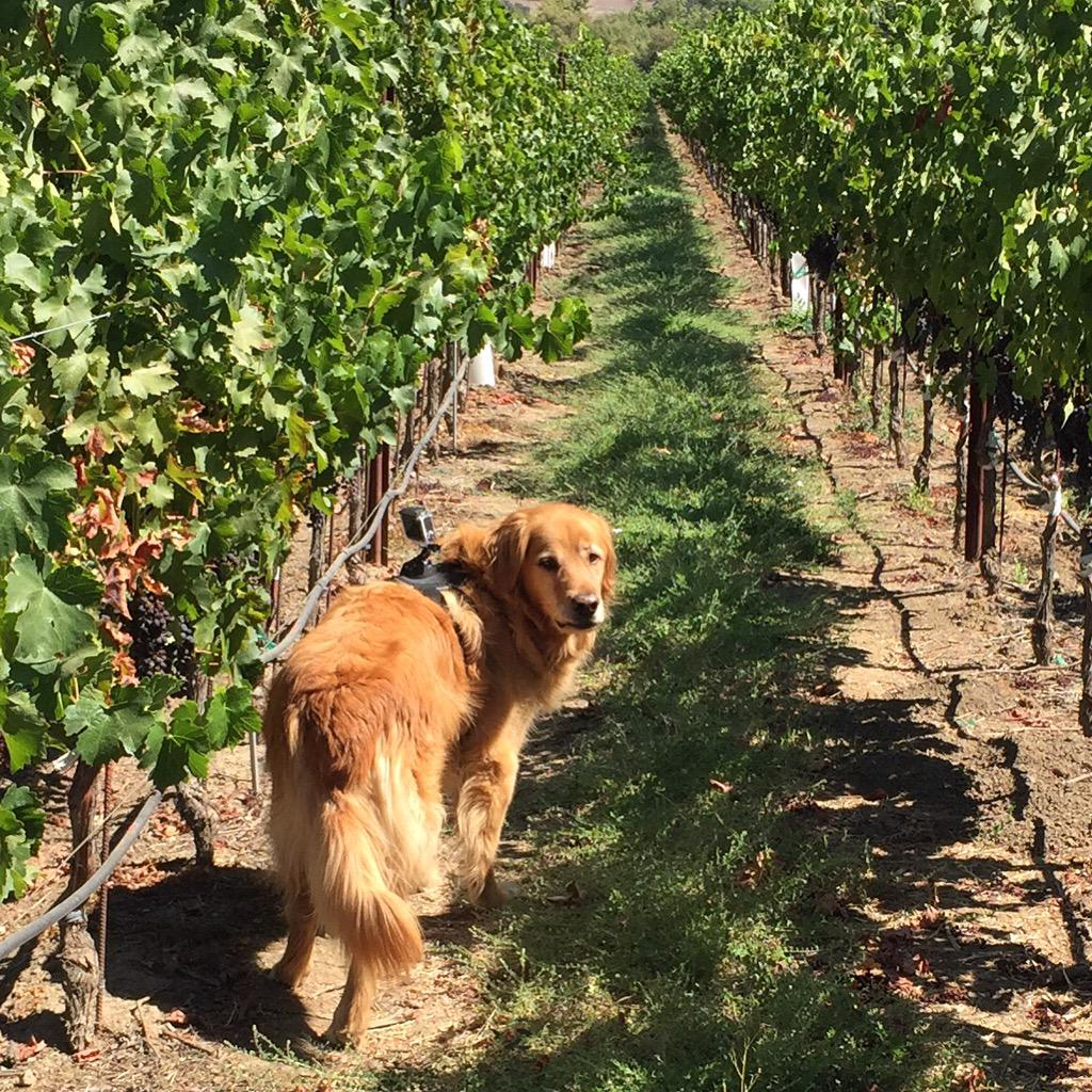 Cooper is out in the vineyards today with a Go Pro catching the sites and sounds of #NapaHarvest 2015! http://t.co/cjpM9WGLzT