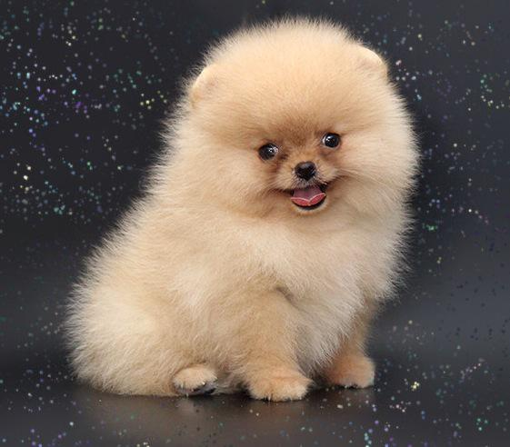 cheap teacup pomeranian prestige pomeranians on twitter quot oh my what a stunner 9524