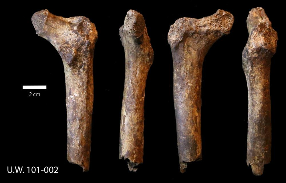12:01 am here in South Africa. I think it's time for #FossilFriday! Here's a proximal femur of #Homonaledi: http://t.co/eAz9oDZnZI