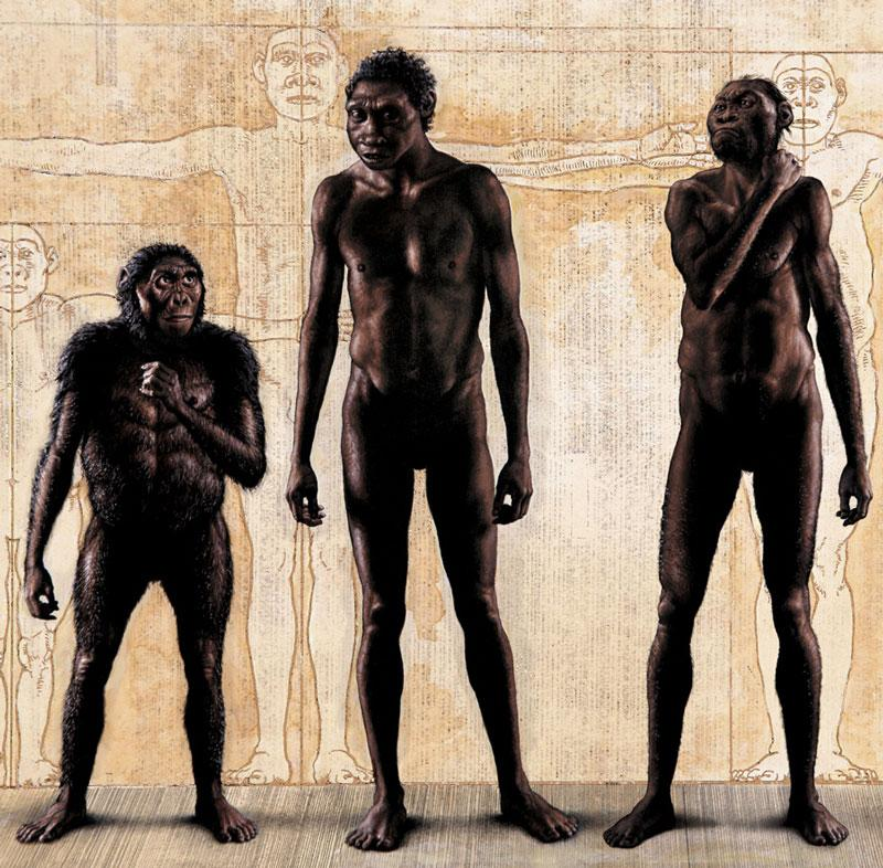 "Australopithecus afarensis ""Lucy"" - Homo erectus - Homo naledi (from left to right)"