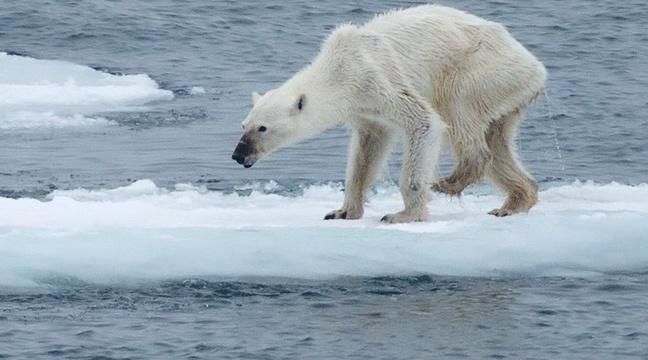 La photo d'un ours polaire squelettique suscite l'émotion sur la toile http://t.co/ICmh4CnyBj