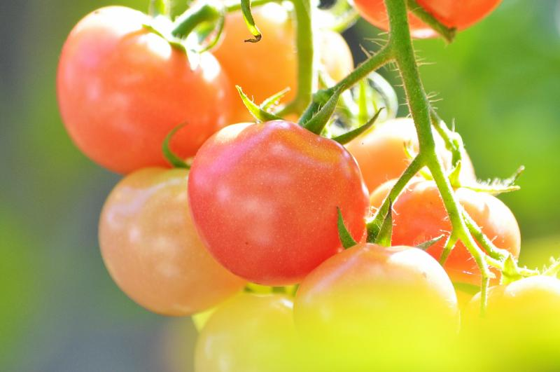 沢山収穫できた、庭のミニトマトもお終いになりました。 http://t.co/x3UX7q13e8