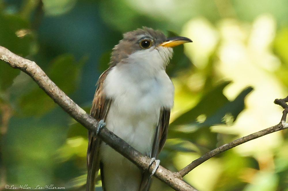 #Birds #Birder Juvenile Yellow-billed #Cuckoo https://t.co/ZQUZFOPAHM #HotSprings #NationalPark #NaturePhotography https://t.co/tCyUte3830