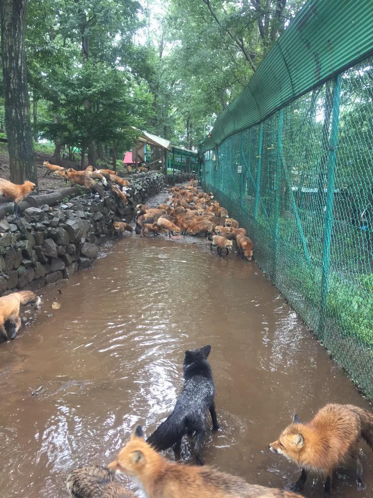「びちょびちょだー」「押すな押すな」「炊き出しまだー?」「わーいプールだー(ザブザブ」大雨過ぎてキツネ村は相変わらず無事で平和です http://t.co/Q6g7gJhud0