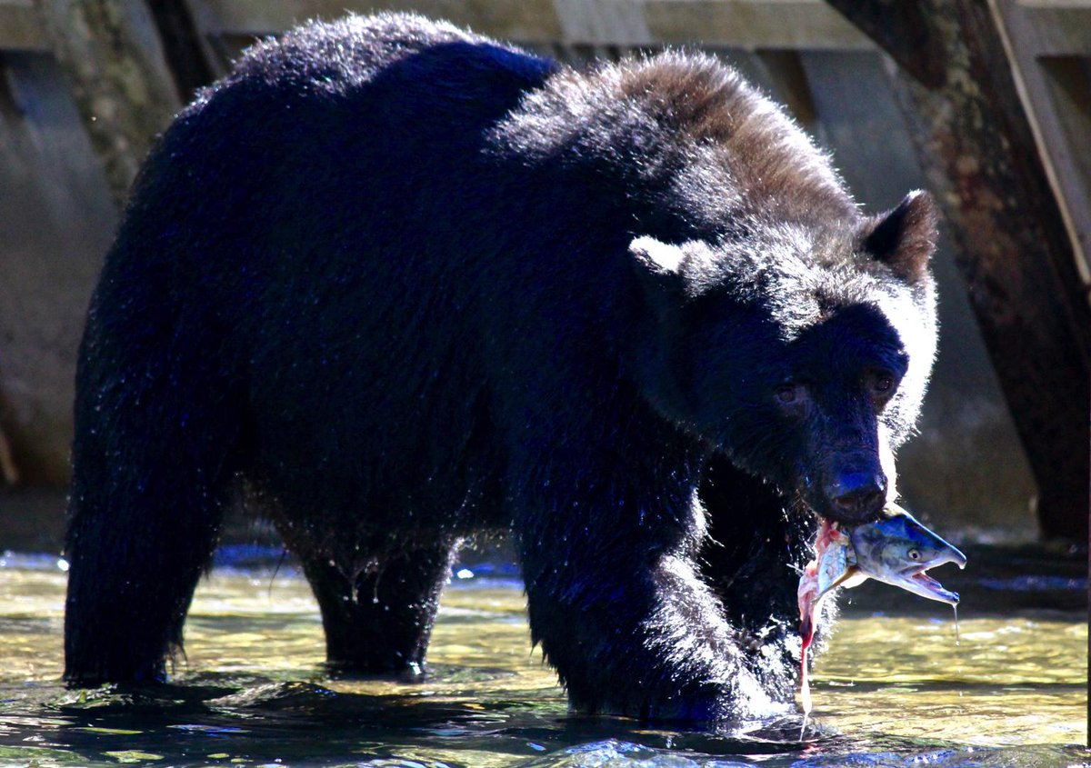Shot a Black Bear, near #campbellriver, today. With a Canon. This is my trophy. #EndTheTrophyHunt http://t.co/kr1FwcJhzb