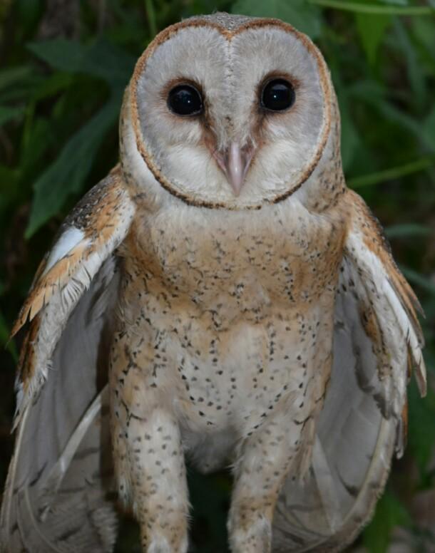 Nikon Jalanan On Twitter Serak Jawa Tyto Alba Burung Hantu Putih Spesies Burung Besar Wajah Berbentuk Jantung Warna Putih Dgn Tepi Coklat Http T Co Zqcw3idban