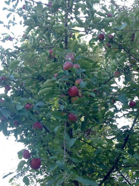 apples clustered on an apple tree branch