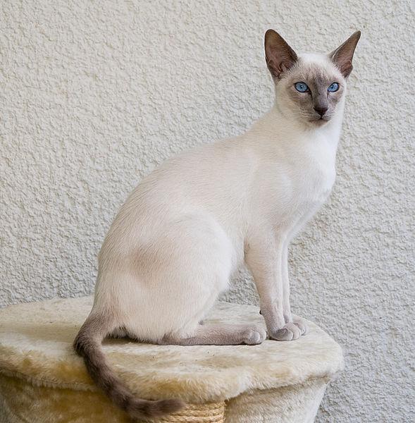 >RT現実のシャム猫もこんなに個体差があるから多少はね…?